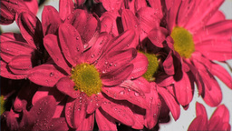 Pink flowers in super slow motion being watered Footage