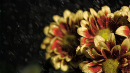 Bunch of flowers in super slow motion being watere Stock Video Footage