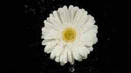 White flower in super slow motion receiving rainfa Footage