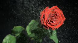 Red flower in super slow motion being watered Stock Video Footage