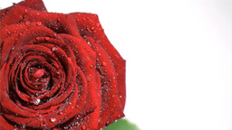 Red rose in super slow motion being soaked Footage