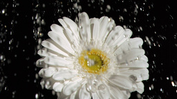 Gerbera in super slow motion being soaked Footage