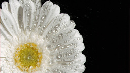 Natural flower in super slow motion being watered Footage