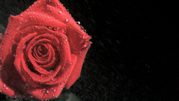 Red rose in super slow motion receiving raindrops Footage