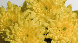 Bunch of yellow flowers in super slow motion being soaked Footage