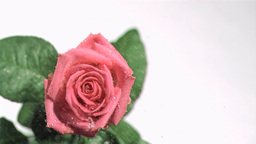 Rain in super slow motion flowing on a red rose Footage