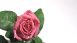 Pink rose in super slow motion being watered Footage