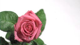 Beautiful rose in super slow motion being watered Footage