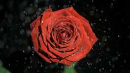 Beautiful red rose in super slow motion being wate Footage