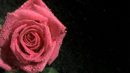 Rose sprayed in super slow motion Footage
