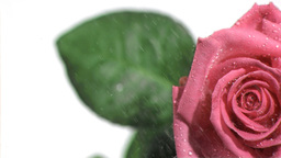 Water dripping in super slow motion on a pink rose Footage