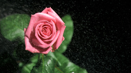 Rain falling in super slow motion on a pink rose Footage