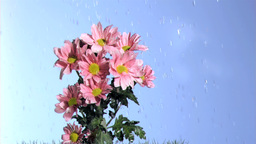 Rain falling in super slow motion on a pink daises Footage