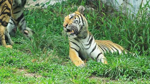 Bengal Tiger stock footage