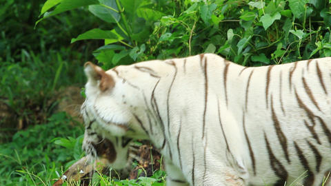 white bengal tiger resting in the forest Live Action