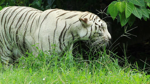white bengal tiger resting in the forest Stock Video Footage