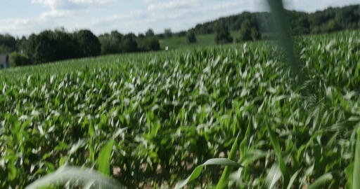 1866 Walking Through Corn Field Blowing in the Win Stock Video Footage
