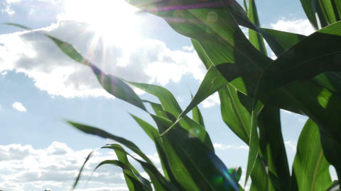 1870 Corn Field Blowing in the Wind with Sun Flare Footage