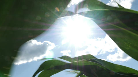 1874 Moving through Corn Field with Sun Flare, HD Stock Video Footage