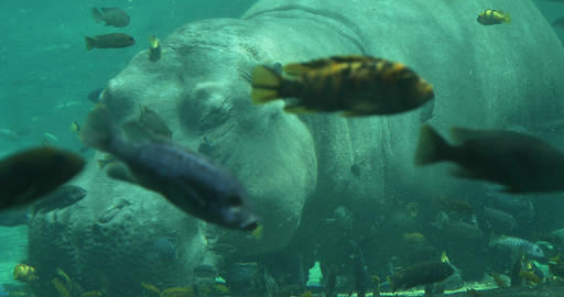 1876 Hippopotamus Under the Water with Fish Swimmi Stock Video Footage