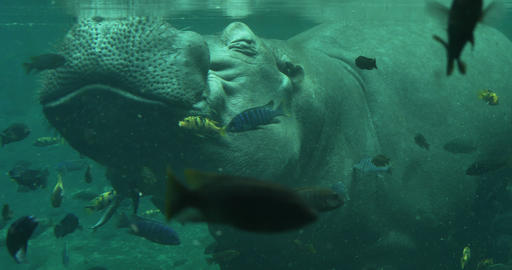 1878 Hippopotamus Coming up for Air Under the Wate Footage
