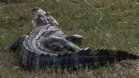 1885 Alligator Next to Pond, HD Footage