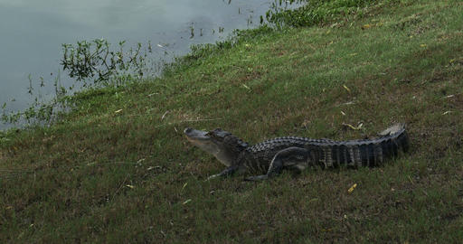 1888 Alligator with Mouth Open Next to Pond, 4K Footage
