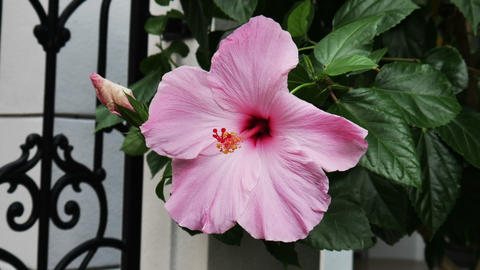 1889 Hibiscus Flower in Florida, HD Stock Video Footage