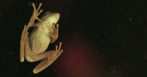 1891 Green Tree Frog on Window, 4K Footage