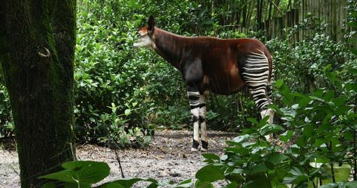 1900 Okapi Forest Giraffe, 4K Footage