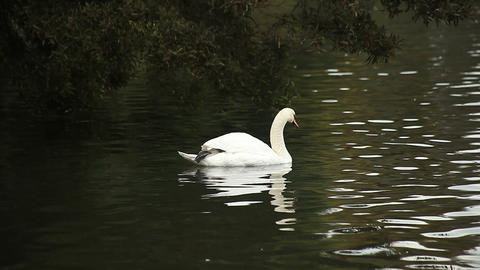 swan swims away Live Action