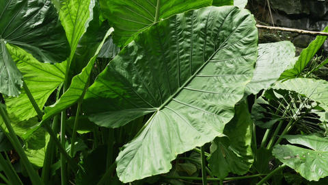 1906 Giant Tropical Leaf, HD Stock Video Footage