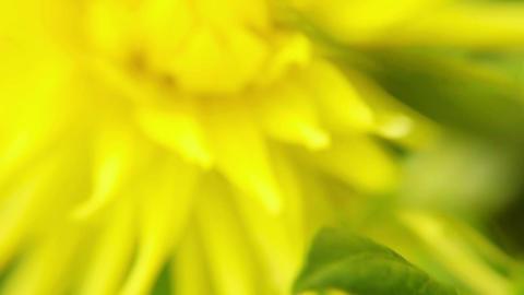 Blooming Summer Flower Macro stock footage