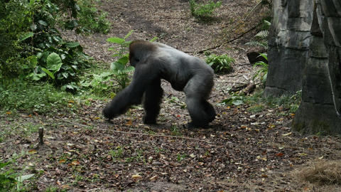 1910 Gorilla Walking Next to Rock, HD Stock Video Footage