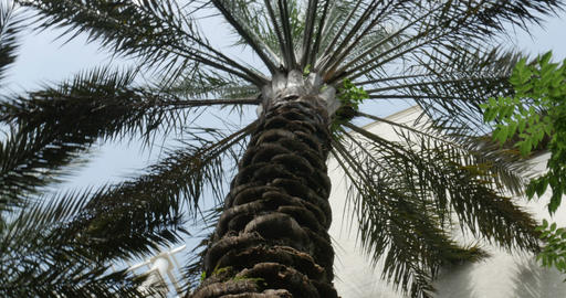 1913 Palm Tree Looking Up, 4K stock footage