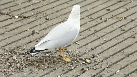 seagull eats Live Action