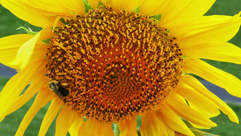 1940 Sunflower with Bumble Bee, HD Stock Video Footage