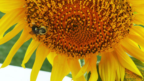 1941 Sunflower with Bumble Bee, 4K Stock Video Footage