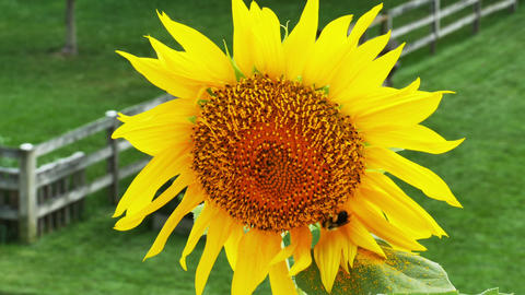 1942 Sunflower with Bumble Bee, HD Live Action