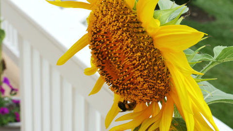1943 Sunflower with Bumble Bee, HD Live Action