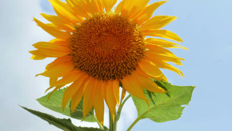 1947 Sunflower with Bumble Bee, HD Stock Video Footage