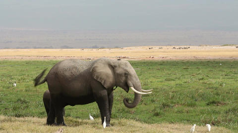 African elephant with young calf Footage