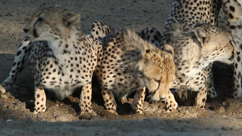 Cheetahs drinking water Stock Video Footage