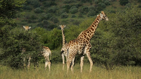 Feeding giraffes Footage