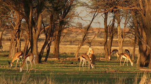 Grazing springbok Footage