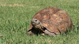 Leopard tortoise Stock Video Footage