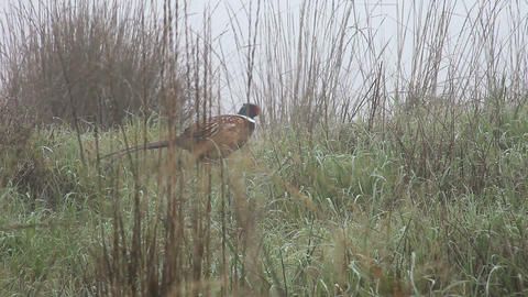 pheasant disappearing in grasses Stock Video Footage