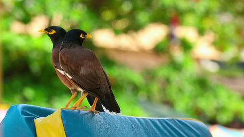 Common Myna Footage