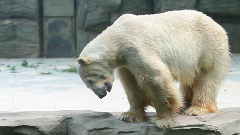 Polar bear in Beijing Zoo HD Stock Video Footage