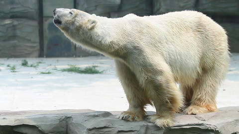 Polar bear in Beijing Zoo HD Footage
